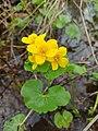 Caltha palustris 126283858.jpg