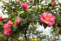 Camellia Blooms (4507630403).jpg