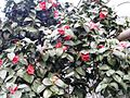 Camellia japonica WZBGSG.JPG