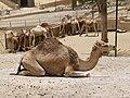 Camelus dromedarius - dromedary - Dromedar - dromadaire - Oasis Park - Fuerteventura - 01.jpg