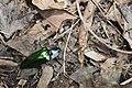 Campsosternus mirabilis (35674278475).jpg