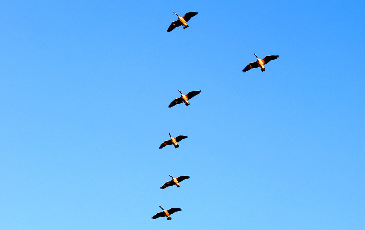 Made In Michigan >> File:Canada Geese Flying in Formation, Textile Road, Pittsfield Township, Michigan - panoramio ...