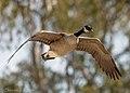 Canada Goose (51006889925).jpg