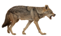 Canis anthus - Cécile Bloch 6 white background.png