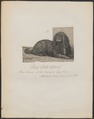 Canis lupus familiaris - 1864 - Print - Iconographia Zoologica - Special Collections University of Amsterdam - UBA01 IZ22300226.tif