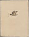 Canis virginianus - 1834 - Print - Iconographia Zoologica - Special Collections University of Amsterdam - UBA01 IZ22200293.tif