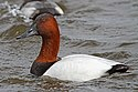 Canvasback (male) - Aythya valisineria, Oakley Street, Cambridge, Maryland.jpg