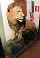 Capannoli, museo zoologico 05 leone.JPG