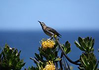 Cape Sugarbird Hermanus 2007.jpg