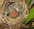 Cape Wagtail nestlings 2 days old Motacilla capensis IMG 1843c.jpg