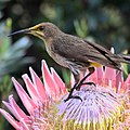 Cape sugar bird on king Protea (35500969535).jpg