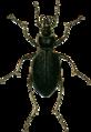Carabus catenulatus Jacobson.png