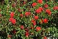 Carbonero rojo (Calliandra hematocephala) (14703121995).jpg