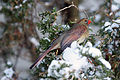 Cardinal rouge sur la neige.jpg