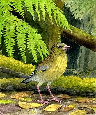 Chloris (bird) - Restoration of the extinct Chloris aurelioi, described September 23, 2010