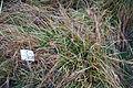 Carex divulsa - Botanischer Garten, Dresden, Germany - DSC08759.JPG