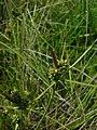 Carex extensa inflorescens (7).jpg