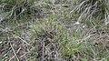 Carex filifolia 3.jpg