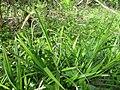 Carex pendula plant (29).jpg