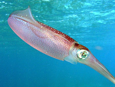 A Caribbean Reef Squid (Sepioteuthis sepioidea), part of the family Loliginidae.