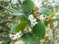 Carissa spinarum, c, Schanskop.jpg