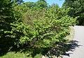 Carpinus turczaninowii - Arnold Arboretum - DSC06928.JPG