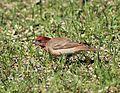 Carpodacus erythrinus Haukipudas 20120519 04.JPG