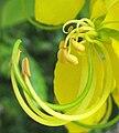 Cassia fistula-flower-detail.jpg