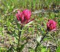 Castilleja parviflora var. oreopola 1.jpg
