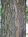 Catalpa bignonioides's bark in Korea.JPG