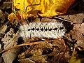 Caterpillar-macro-leaves - West Virginia - ForestWander.jpg