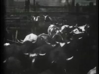 File:Cattle driven to slaughter -.webm