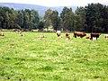 Cattle resting - geograph.org.uk - 966327.jpg