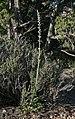 Caulanthus crassicaulis var crassicaulis 1.jpg