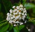 Ceanothus herbaceus (24777798576).jpg