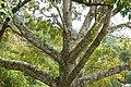 Ceiba (Ceiba pentandra) - Flickr - Alejandro Bayer (1).jpg
