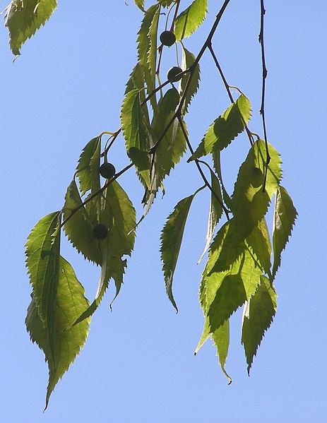 Fitxer:Celtis australis branch.jpg