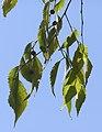 Celtis australis branch.jpg