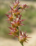 Cenchrus spinifex burrs.jpg