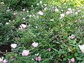 Centennial Park, pink roses.JPG