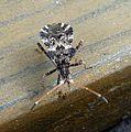 Centrocornis variegatus - Flickr - gailhampshire.jpg