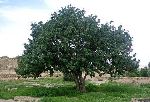 Ceratonia siliqua Negev 041214