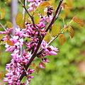 Cercis occidentalis-IMG 6648.JPG