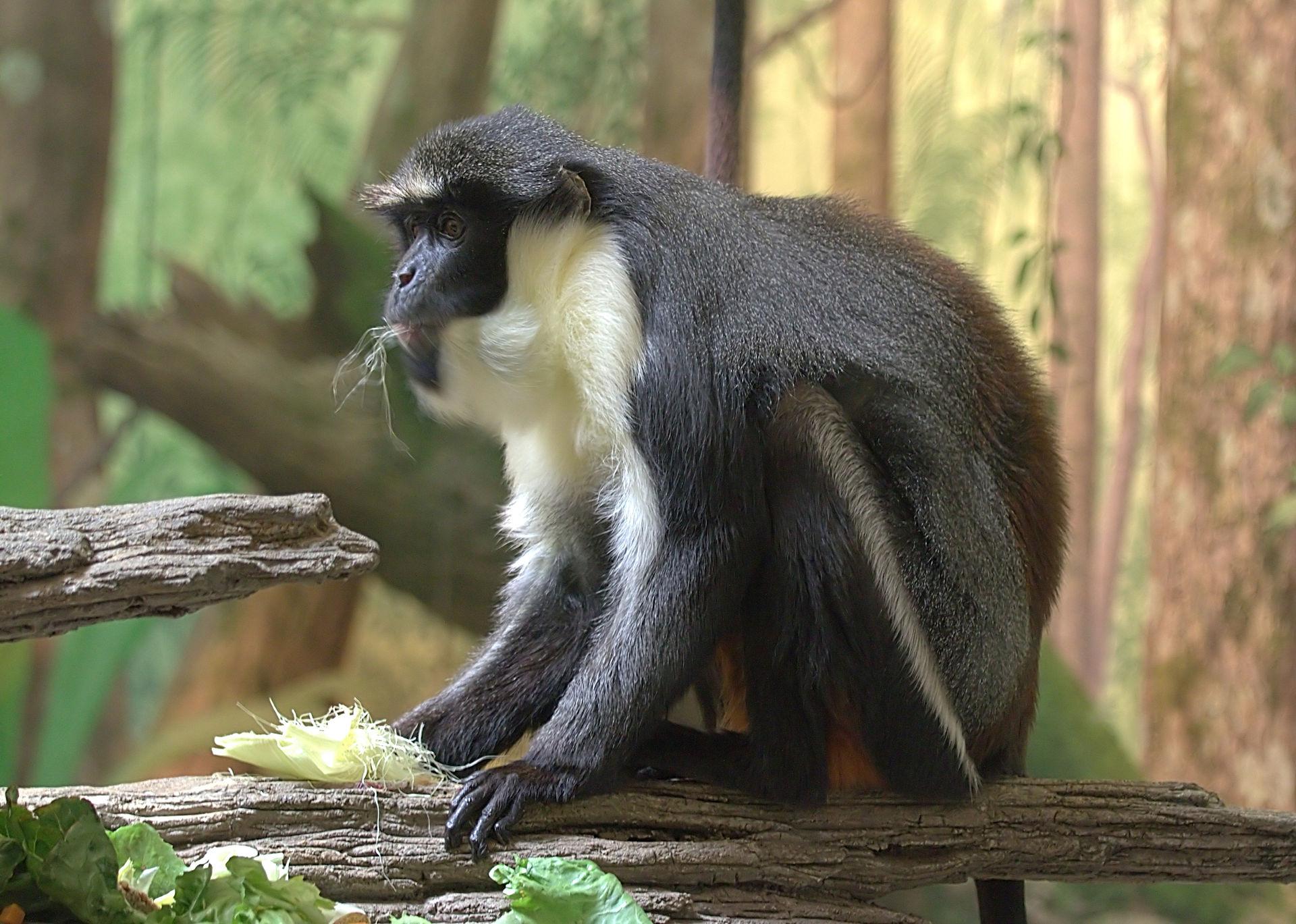 Bearded Monkey Name: Diana Monkey
