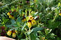 Cerinthe major Zingaro 002.jpg