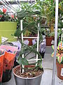 Ceropegia africana in a garden centre.jpg