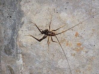 Ceuthophilus stygius - Image: Ceuthophilus stygius (camel cricket) inside entrance to Great Onyx Cave (Flint Ridge, Mammoth Cave National Park, Kentucky, USA) 1 (8314214922)
