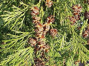 Blätter und Zapfen von Lawsons Scheinzypresse (Chamaecyparis lawsoniana)