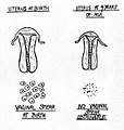 Chart of the uterus at birth and at 4 years. Wellcome L0002177EE.jpg