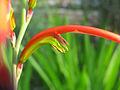 Chasmanthe bicolor.jpg